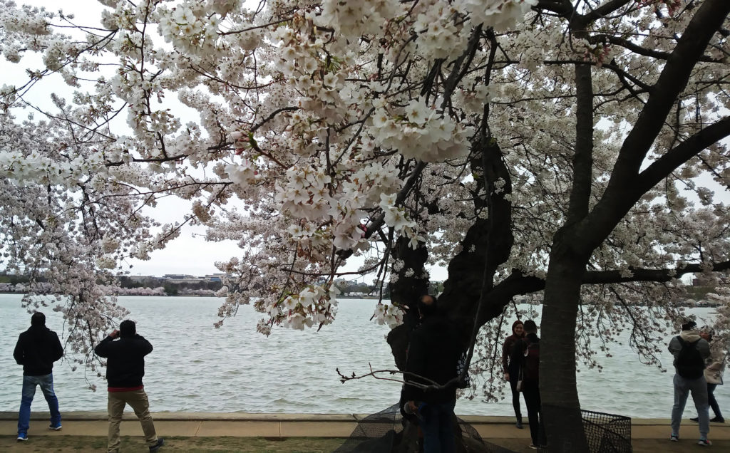 Cherry Blossoms, TidalBasin, Spring