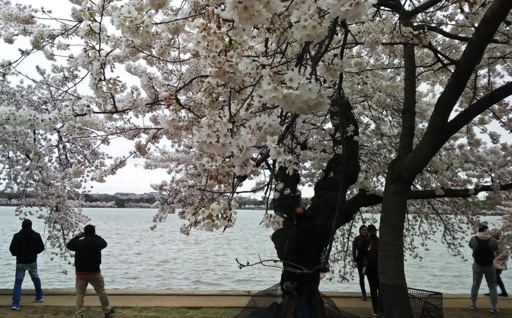 Cherry Blossoms, TidalBasin, Spring